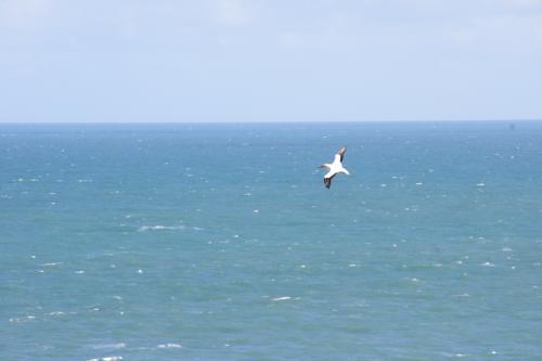 空を飛ぶカツオドリ