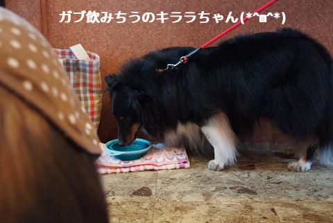 ガブ飲みちうのキララちゃん(*^m^*)