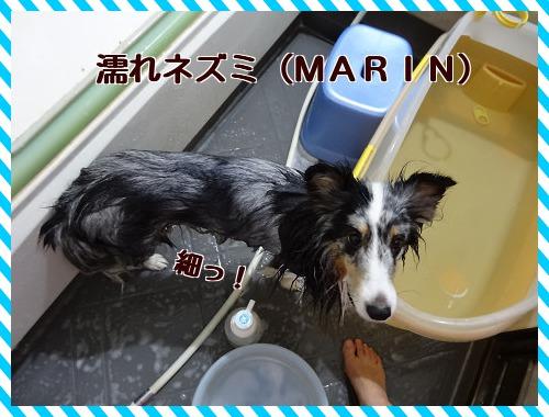 20121123 濡れネズミ(MARIN)