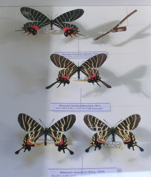 ブータンシボリアゲハ