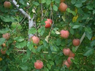 リンゴ狩り1