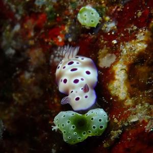 マダライロウミウシ幼体