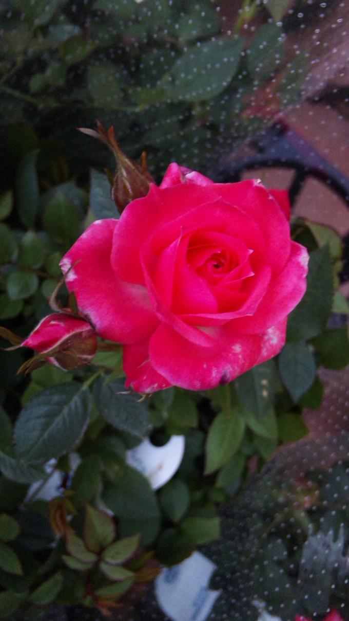 MINI   ROSE_20120322