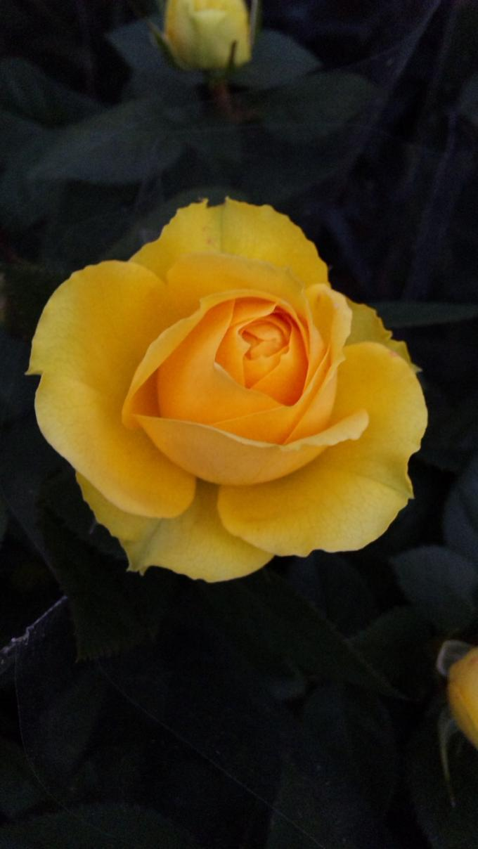MINI  ROSE_20120323