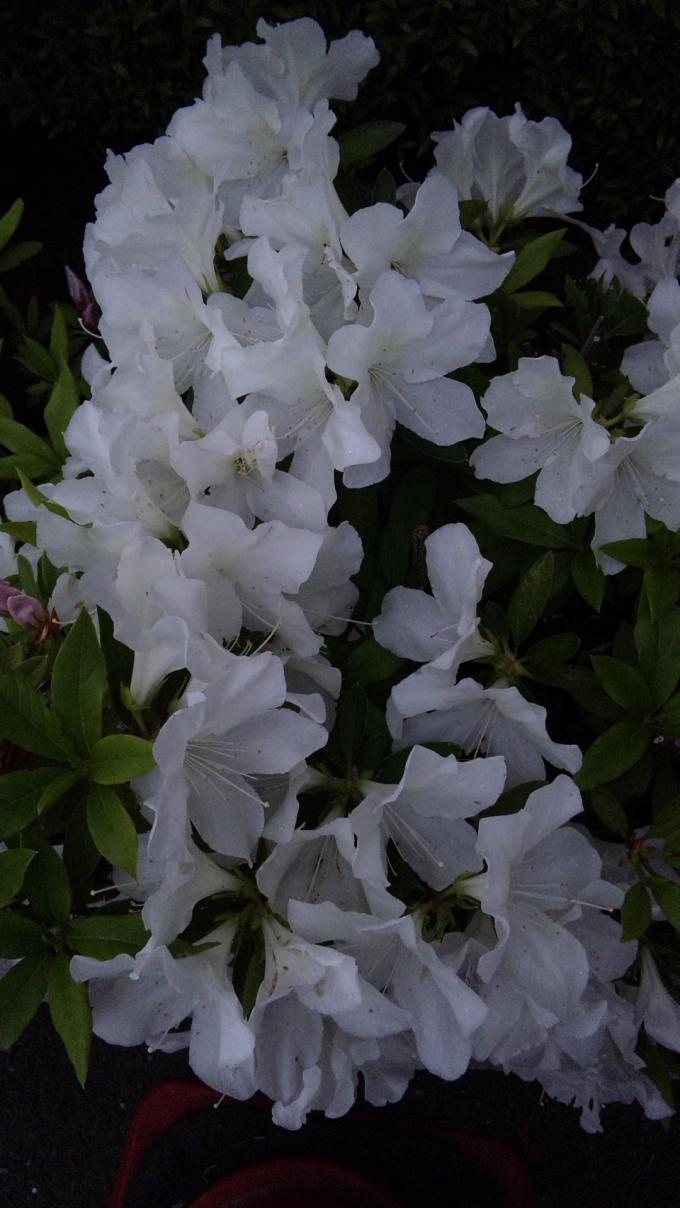 WHITE  TSUTSUJI_20120502