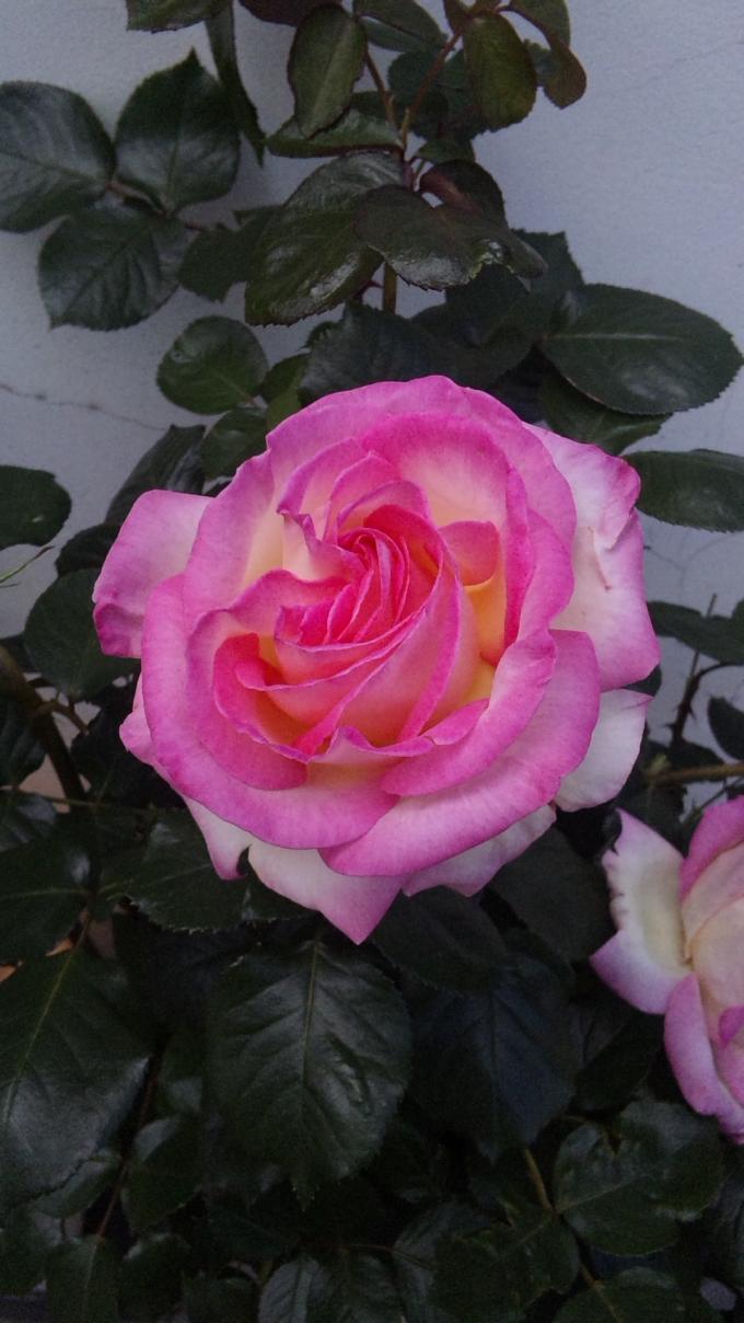 ROSE_20120512