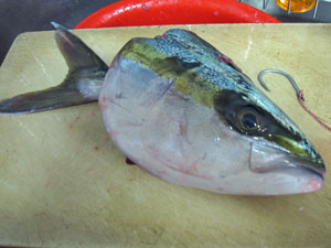 1114魚