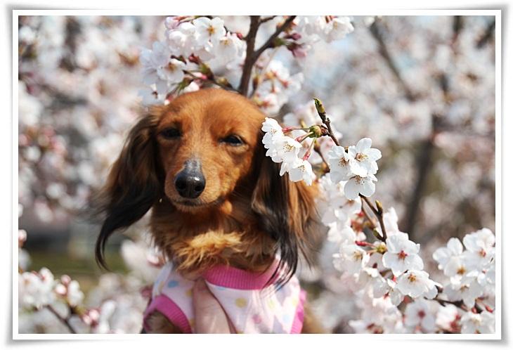 ティンク桜1