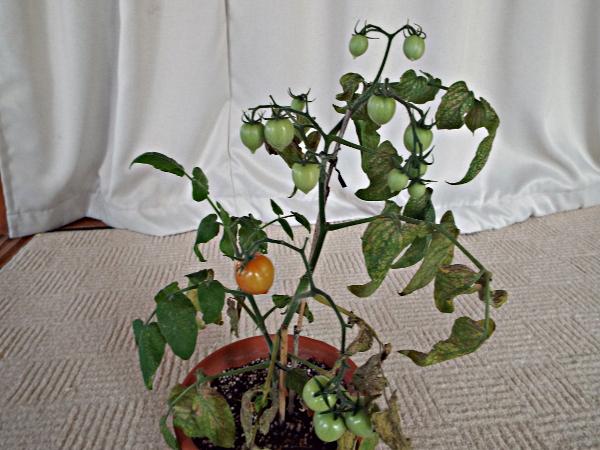 tomato03_20141012133338d57.jpg