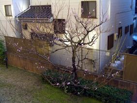 マンション前桜