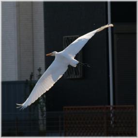 140101E 016飛ぶコサギA