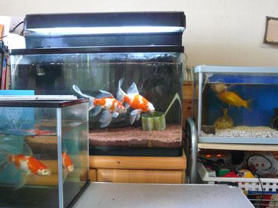 金魚たち01