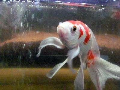 空飛ぶ金魚02