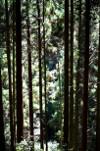 鞍馬山中の木立