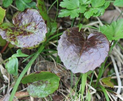 イワカガミの葉