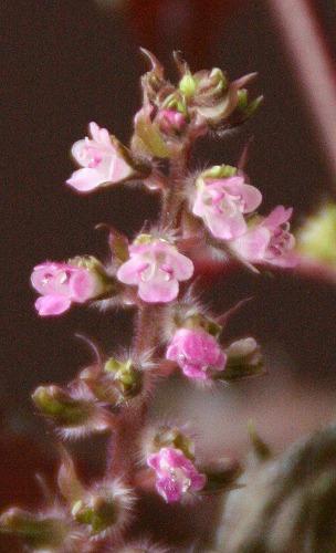 シソの花100926