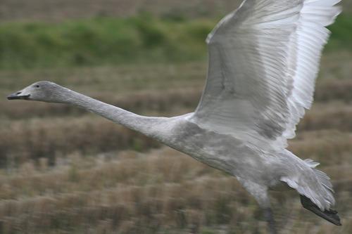 幼鳥のフライト