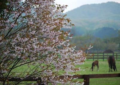 6・タキオン・満開の桜と