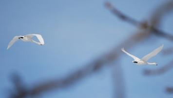 12・晴れ・オオハクチョウ