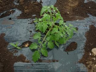 カゴメトマト2