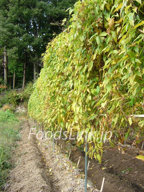 自然薯の蔓