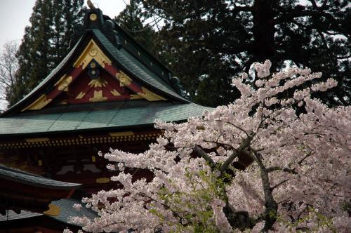塩竈神社桜6