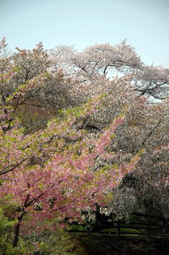 塩竈神社桜5