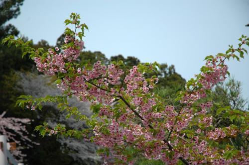 塩竈神社桜4