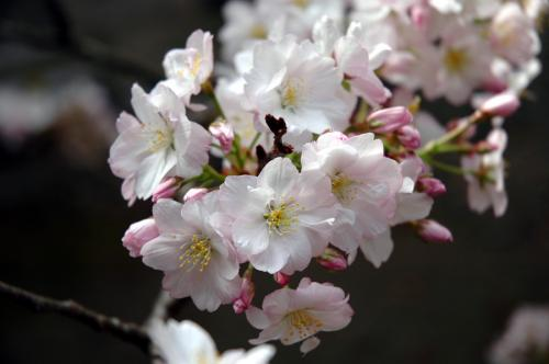 塩竈神社桜3