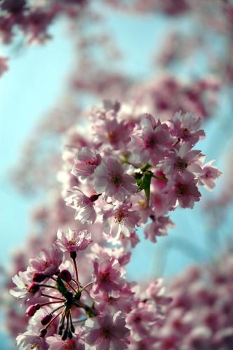 塩竈神社桜2