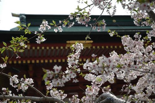 塩竈神社桜1