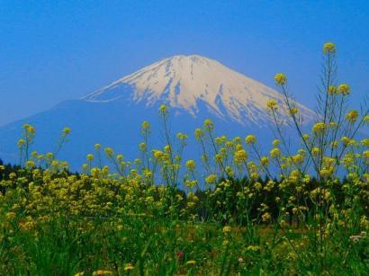富士山と菜の花1