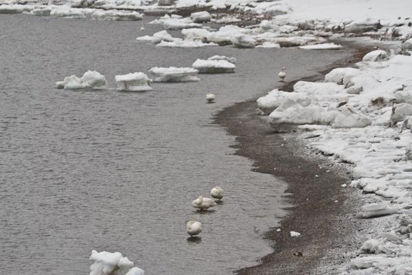 流氷と白鳥