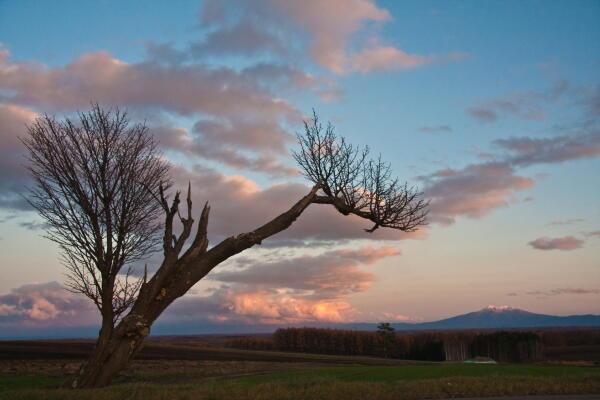 冬枯れの桜と雪雲と斜里岳