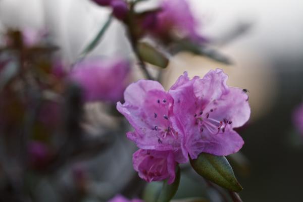 エゾ紫ツツジが開花