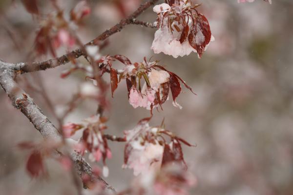 砂糖漬けの桜?