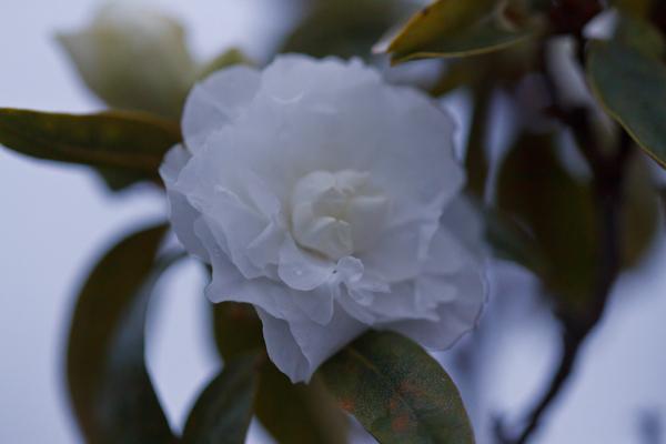 八重白エゾ紫ツツジ