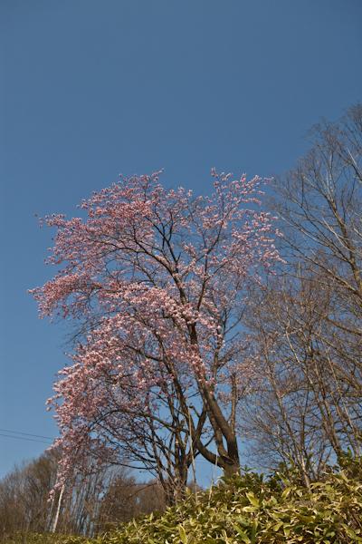 2011年5月19日撮影 エゾ山桜