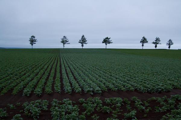 ジャガイモの畑