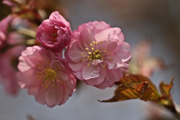 2006年5月18日撮影 オホーツク八重桜