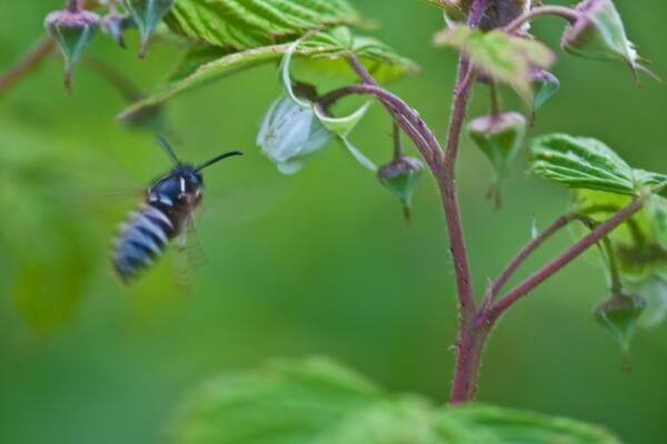 木苺と縞蜂