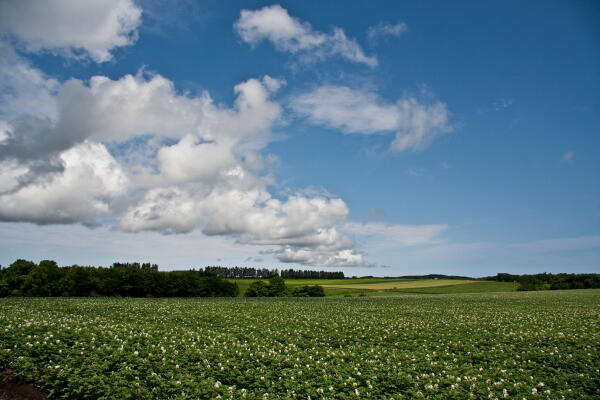 ジャガイモの花と雲
