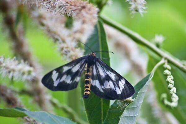 栗の花に蛾?蝶?