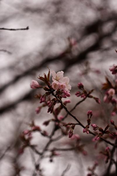 2008年5月3日 我が家の桜