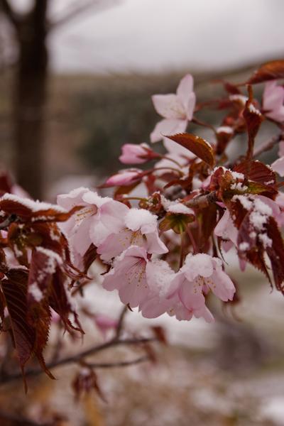 2008年5月10日の桜と雪