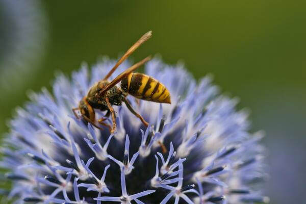 瑠璃玉アザミとスズメバチ