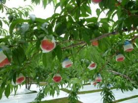 山梨県高野さんの桃