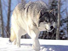 220px-Canis_lupus_265b.jpg