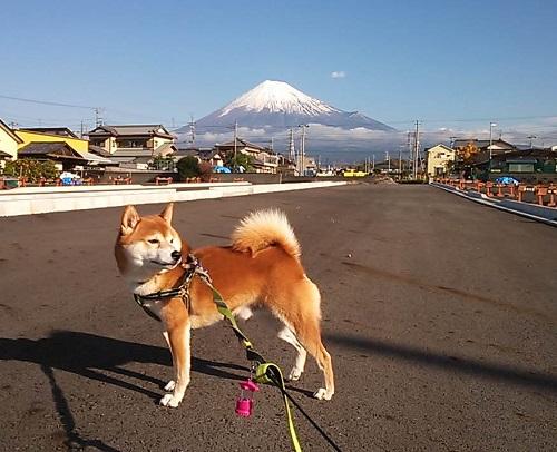 富士山と柴犬 25.11.27