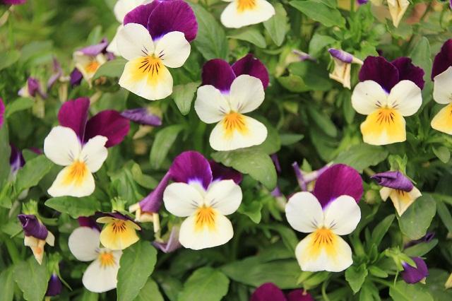 ビオラ(紫とクリーム)